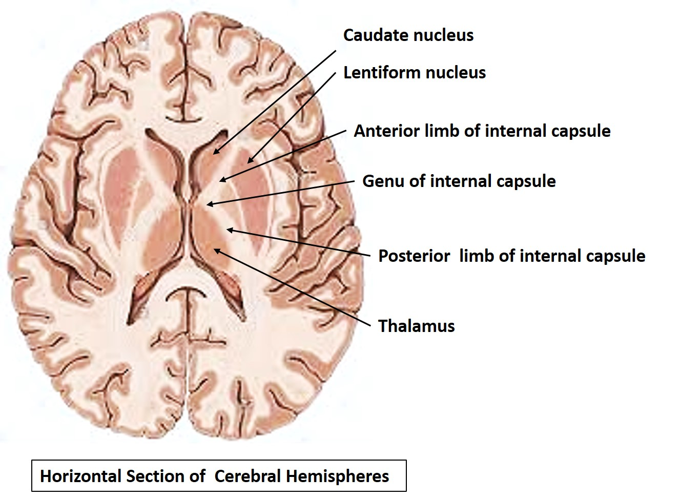 Image result for Horizontal cross section of cerebrum internal capsule