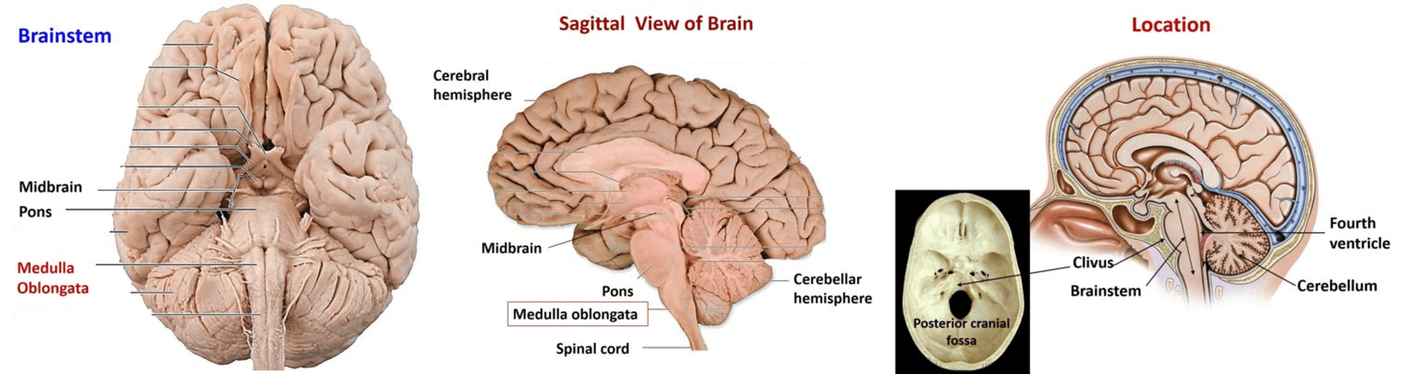 Medulla Oblongata - External and Internal Features, arterial supply ...