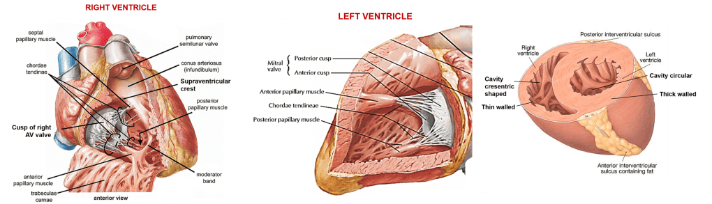 left and right atrium