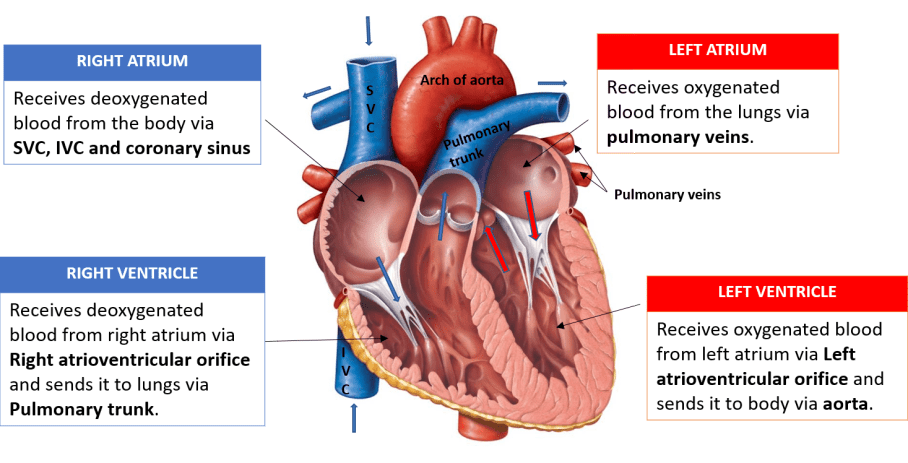 Heart internal features veins opening into right atrium chambers of heart ccuart Choice Image