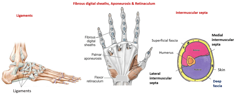 modifications of deep fascia