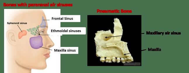 examples of pneumatic bones