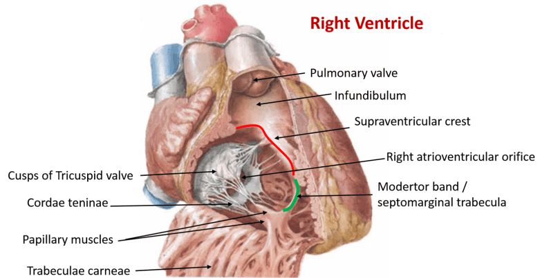 Heart - Internal Features - veins opening into right atrium ...