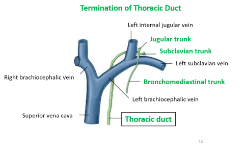 termination of thoracic duct