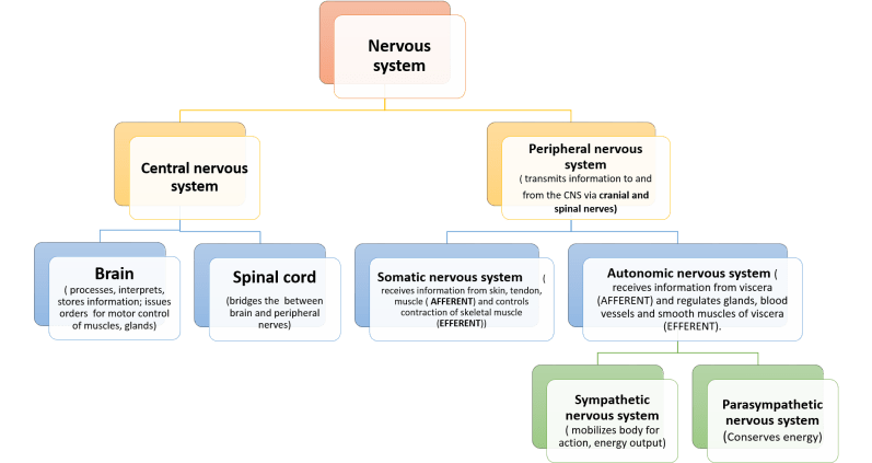 subdivisions of nervous system