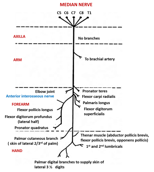 median nerve- branches and structures supplied by them