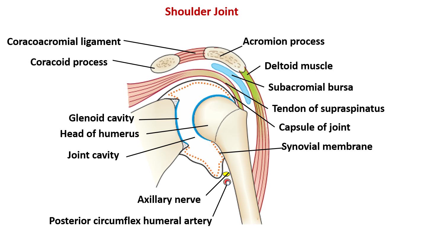Shoulder Joints Diagram - Example Electrical Circuit •