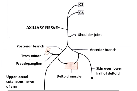 axillary nerve branches