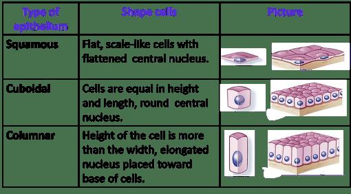 Classification of epithelium based on shape of cells