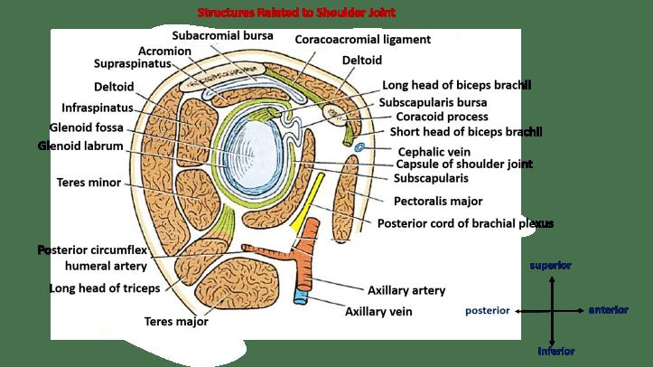 relations of shoulder joint