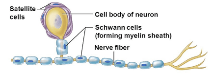 schwann cell and satellite cell