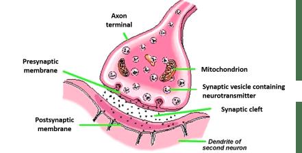 synapse anatomy
