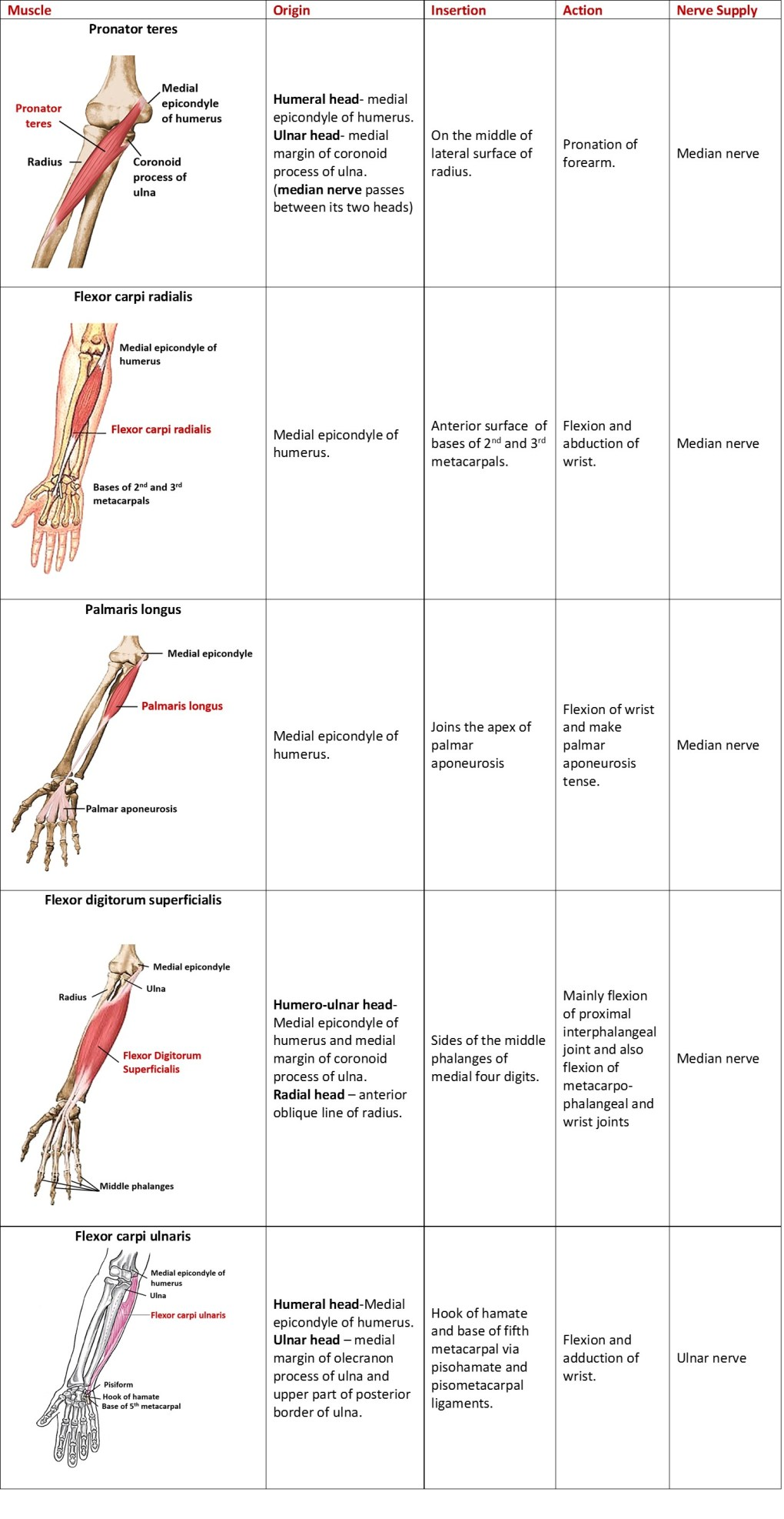 muscles of superficial compartment of forearm
