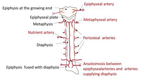 arterial supply of a developing long bone