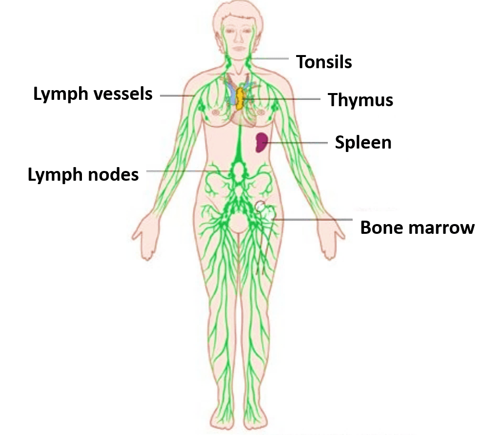 Lymphatic System Components Functions Applied
