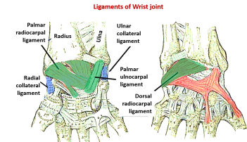 ligaments of wrist joint