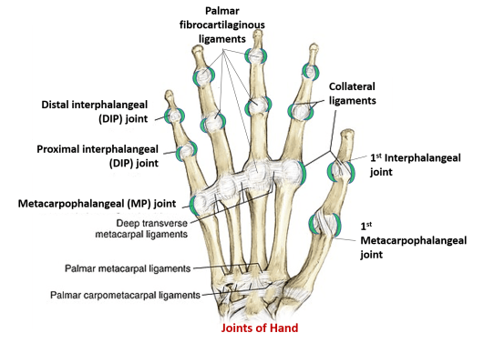 joints of hand