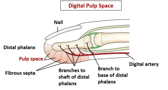 pulp space of fingers
