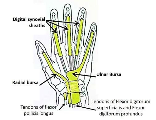 Radial and ulnar bursa of hand