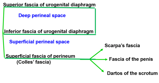 Urogenital Triangle - superficial and deep perineal pouches -