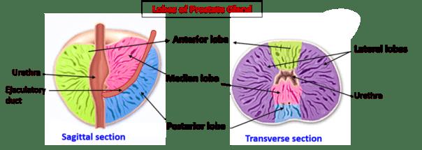 prostate gland anatomy lobes Krónikus prosztatitis depresszió