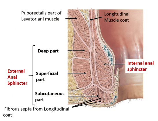Anal Canal Parts Internal Features Sphincters Blood And Nerve