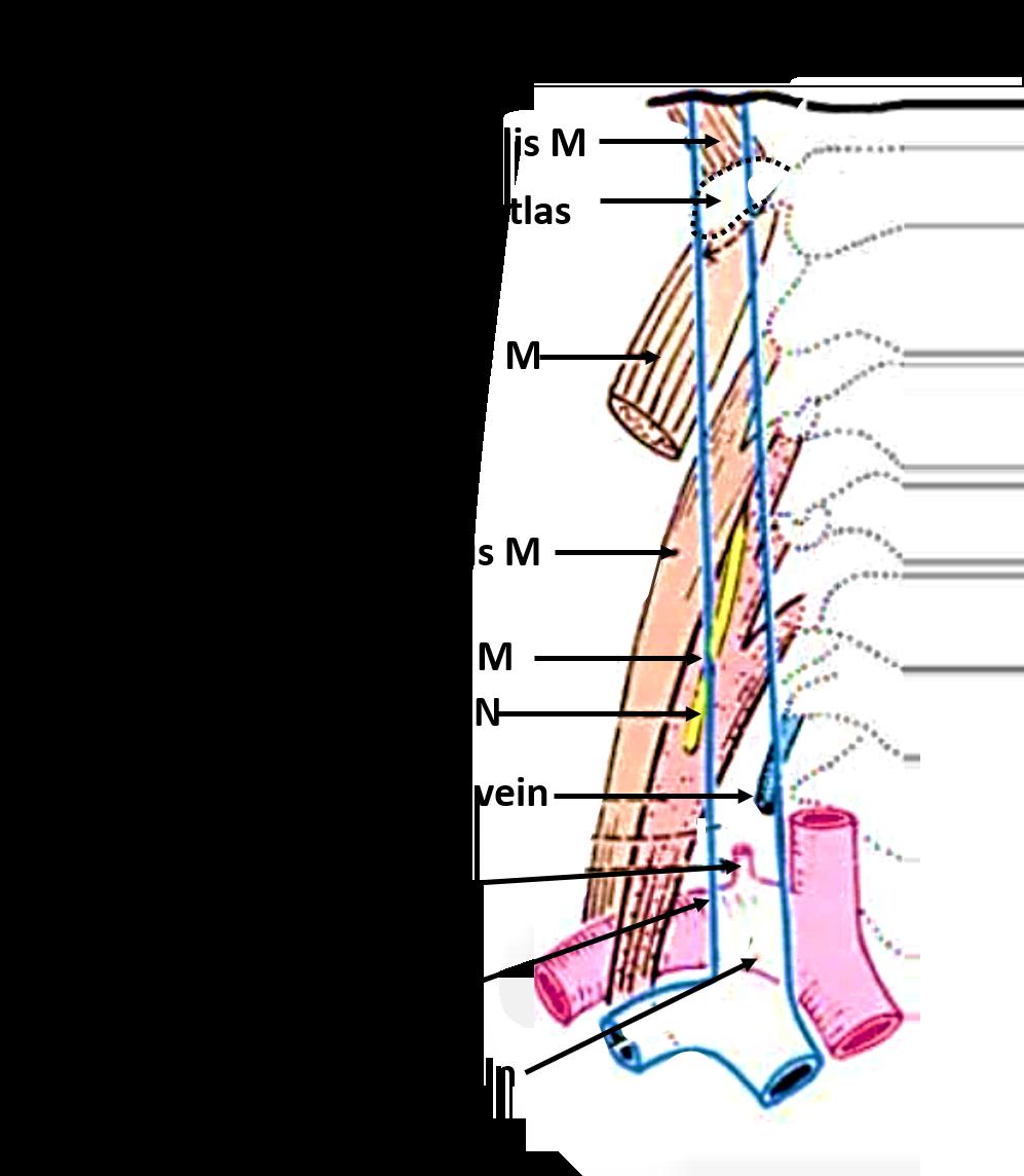Fine Anatomy Of Internal Jugular Vein Crest - Anatomy Ideas - yunoki ...