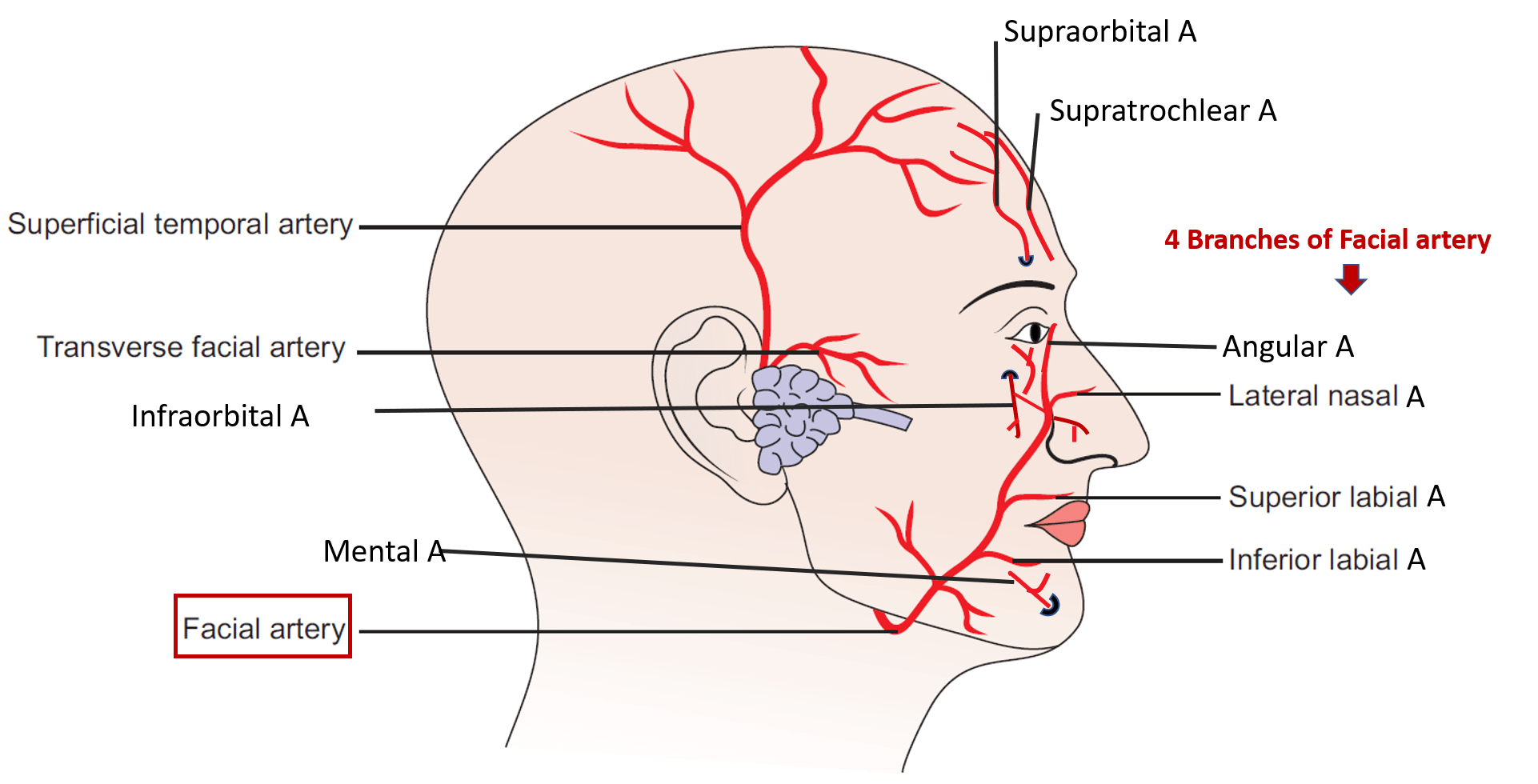 arteries of the face