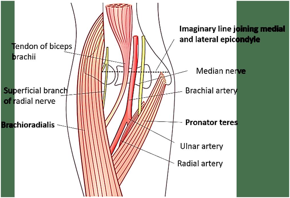 Contemporáneo Anatomía ósea Interactivo Elaboración - Imágenes de ...