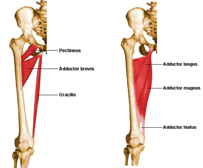 medial compartment of thigh muscles attachments action and nerve