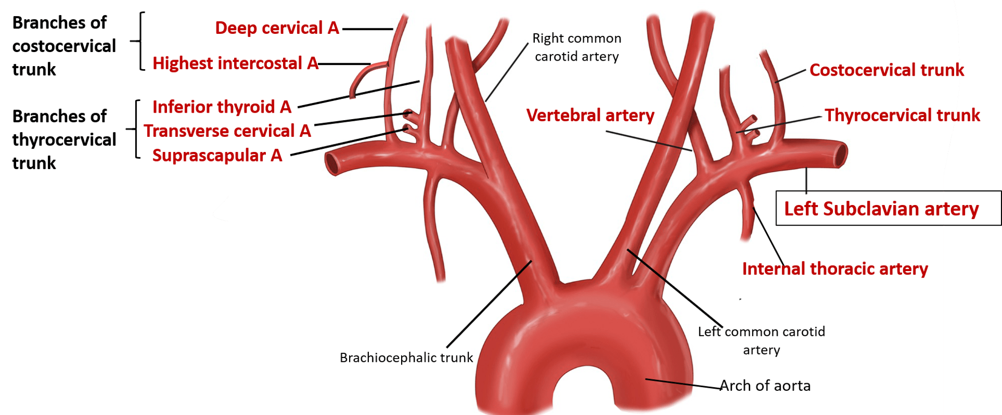 Subclavian Artery - Origin, Branches and Relations -