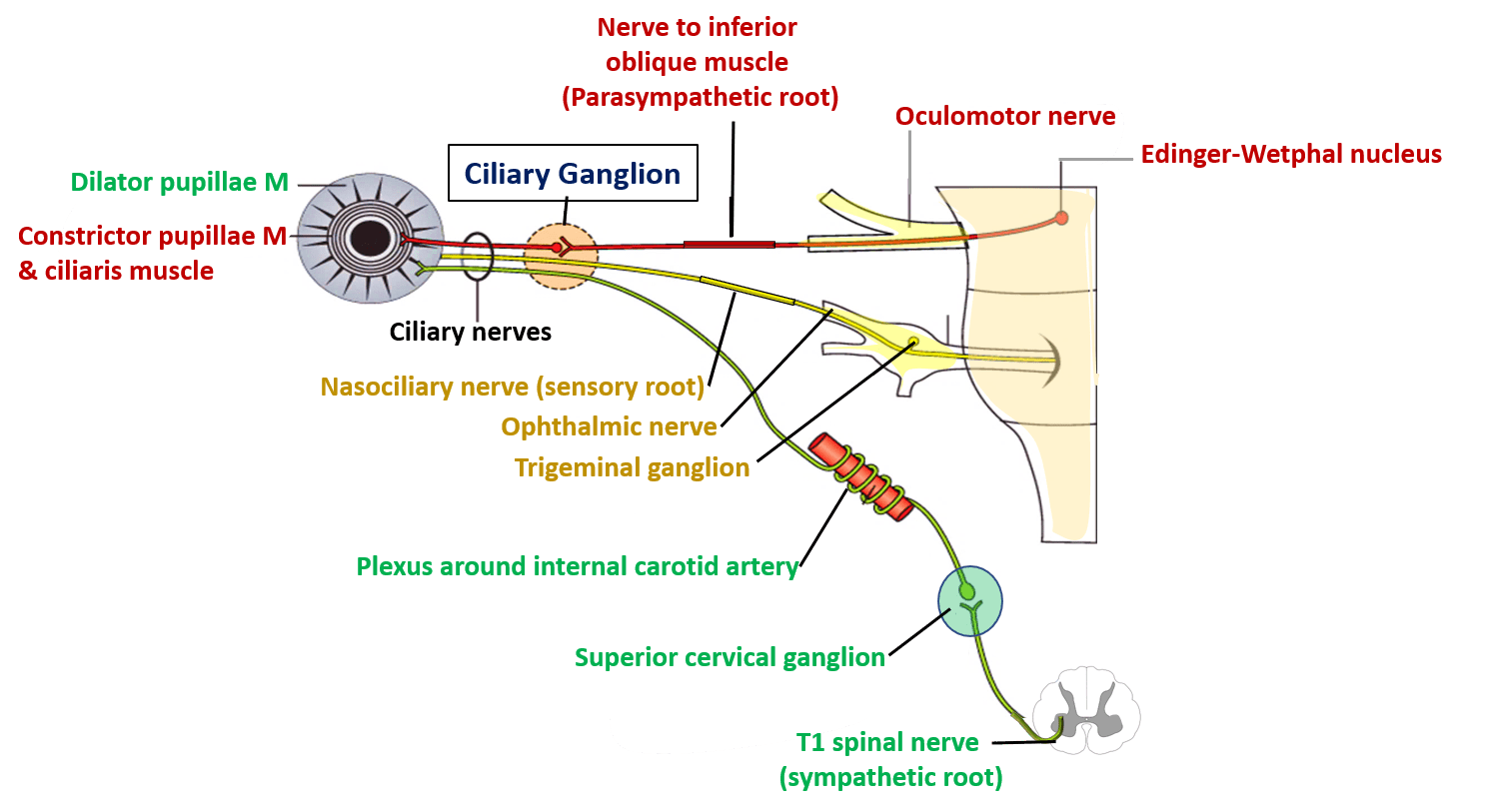 Ciliary Ganglion - Location, Roots and Branches -