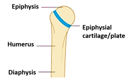 Joints Fibrous Cartilaginous Types Features Anatomyqa However few synchondrosis are still present in adults. joints fibrous cartilaginous types