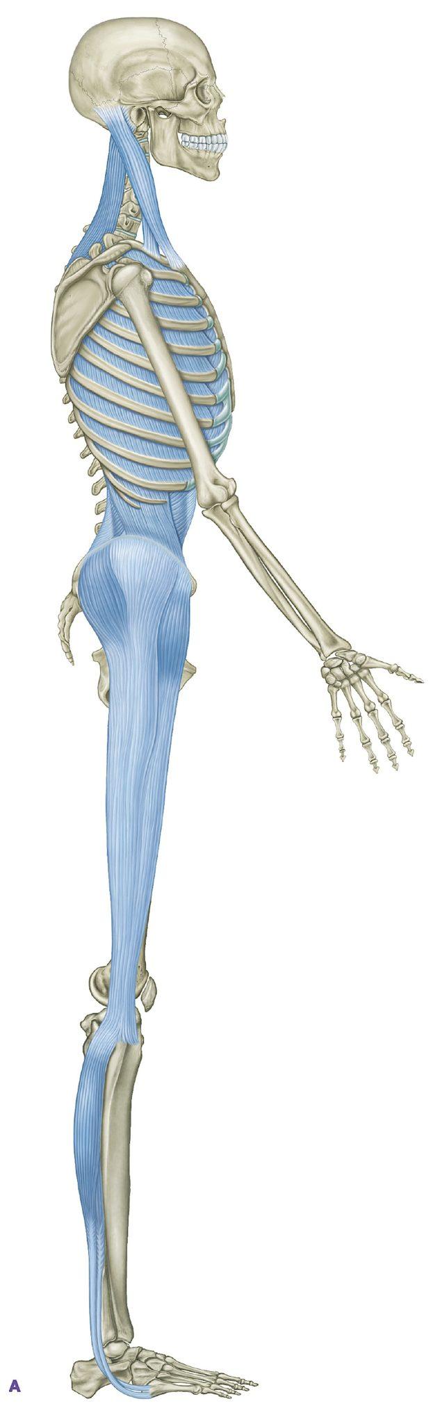 Tom Myers Anatomy Trains