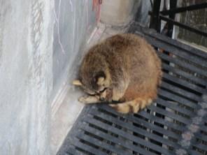 Raccoon next to hostel