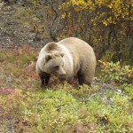 Bear with light tan and brown fur standing in bushes with green and yellow leaves