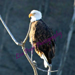 Bald eagle with brown and white feathers sitting on top of gray branches