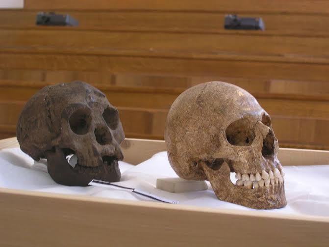 """Comparativa entre una reconstrucción del cráneo de un hombre """"hobbit"""" (izquierda) y el cráneo de un humano moderno (derecha) en la que puede apreciarse claramente el menor tamaño del primero. (Avandergeer/CC BY-SA 3.0)"""