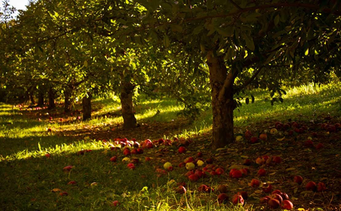 Huerto con abundantes manzanos (Porsche Brosseau/CC BY 2.0). Al parecer, tanto Ávalon como la isla de Man albergaban numerosos manzanos silvestres.