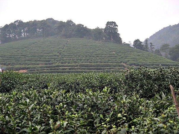 Plantación de té cercana a Hangzhou, China. (Carsten Ullrich/CC BY-SA 2.0)