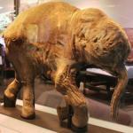 Investigadores japoneses están un paso más cerca de resucitar a mamuts lanudos