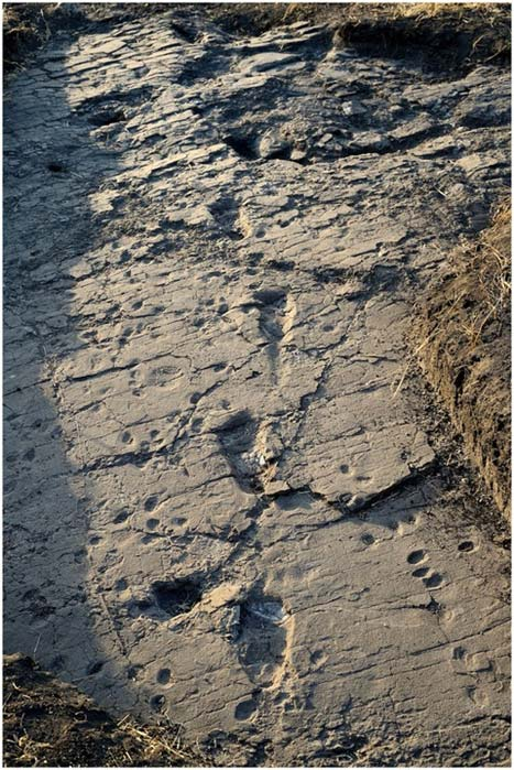 Some of the A. afarensis footprints discovered recently in Tanzania.
