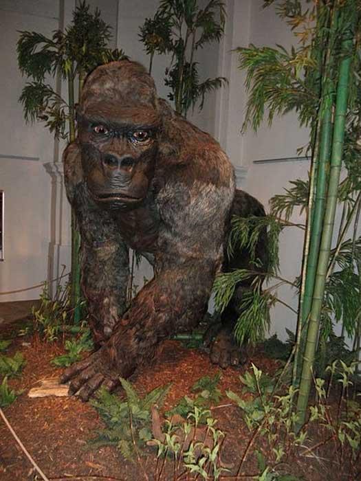 """Restauration de Gigantopithecus blacki tel que présenté à l'exposition """"Gigants"""" en République tchèque, 2014."""