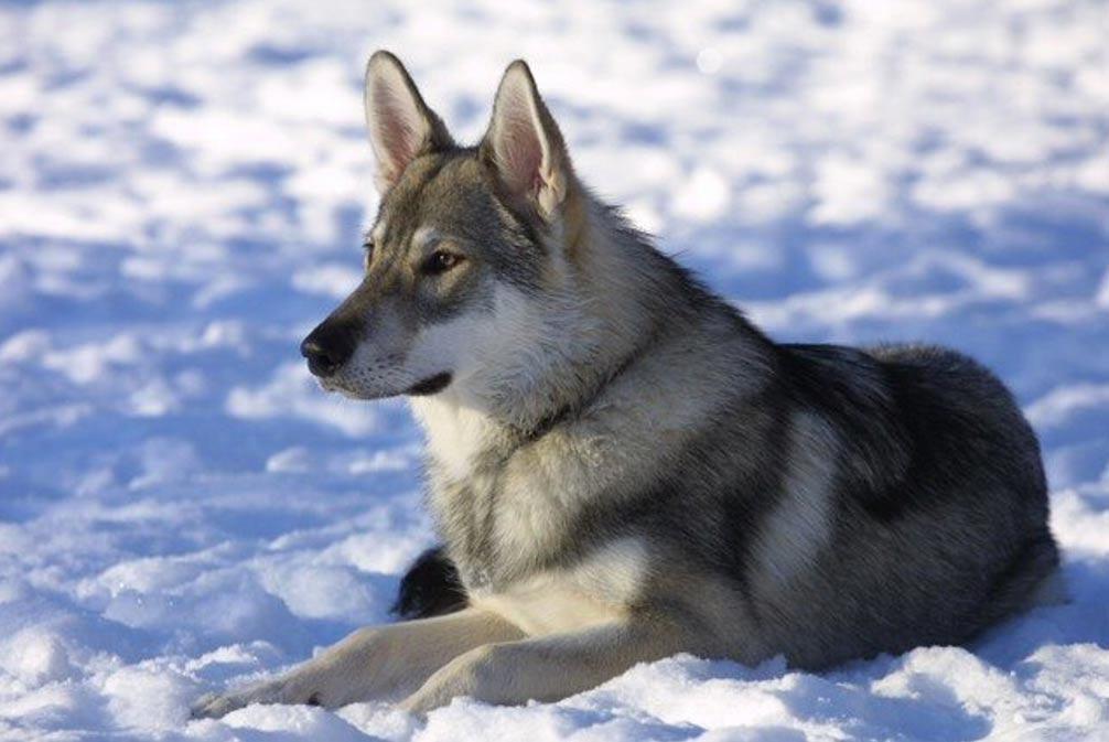 A Tamaskan dog. Tamaskan have wolf-like appearances.