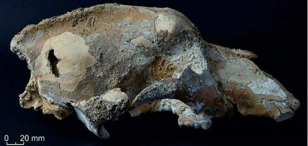 Lateral view of the small cave bear skull (U. ex gr. savini-rossicus) from the Imanay Cave in eastern Russia. (Bulletin of Archeology, Anthropology, and Ethnography)