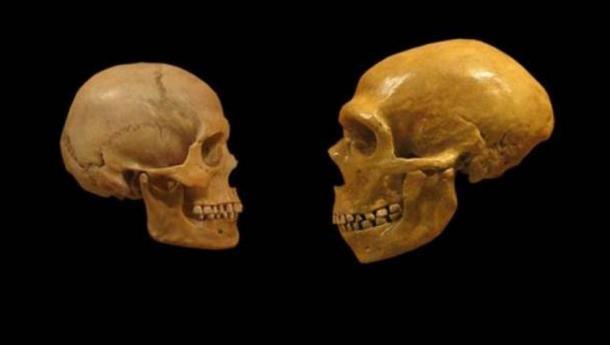 Comparison of Modern Human and Neanderthal skulls.