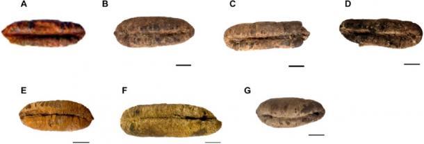 La morfologia di sei antichi semi germinati della Giudea prima della semina.  (Guy Eisner / Sciencemag)