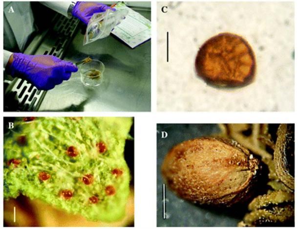 Photomicrographs of ancient cannabis. (A) Photograph of the whole cannabis sample being transferred in laminar flow hood. (B) Photomicrograph of leaf fragment at low power displaying non-glandular and amber sessile glandular trichomes. (C) Higher power photomicrograph of a single sessile glandular trichome. (D) Low power photomicrograph of a cannabis achene ('seed') including the base with a non-concave scar of attachment visible.