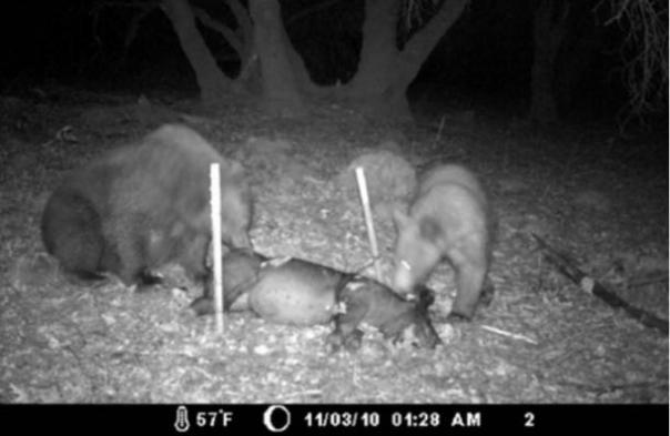 Fotograma del vídeo Lisa tomó durante su experimento de osos que limpian un canal de cerdo.