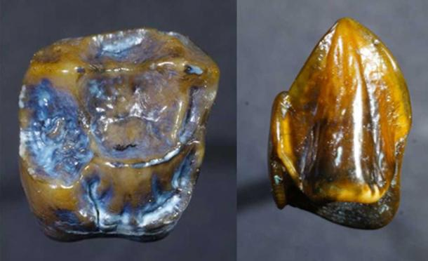 Due dei denti fossilizzati scoperti a Eppelsheim. Credito: Il Museo di Storia Naturale di Mainz